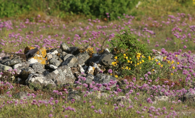 Stenar blommor
